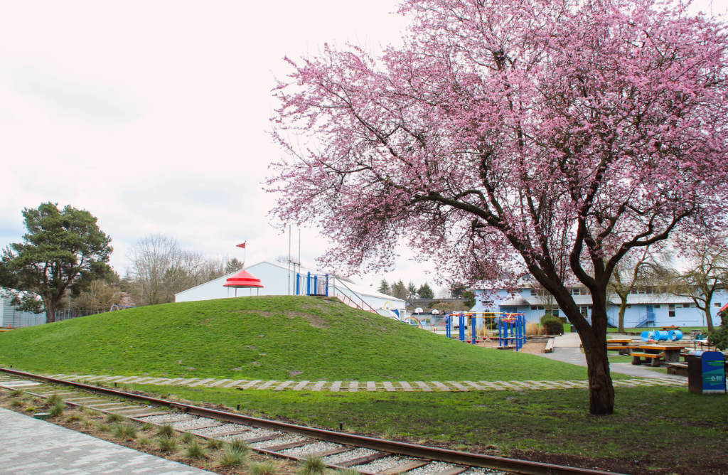 A cherry blossom tree in front of a tent and park area